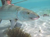 Fly fishing in New Caledonia means one thing… Big Bonefish (Albula Glossodonta)