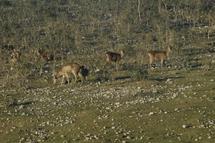 Javan Rusa deer (Cervus Timorensis Russa)