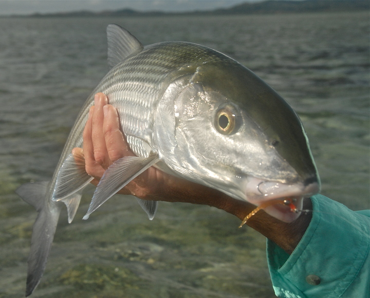 New Caledonia's huge bonefish…